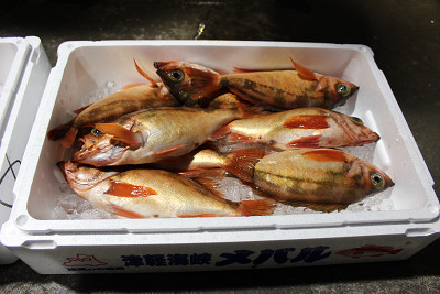 今が旬!小泊漁協でメバルを味わう!