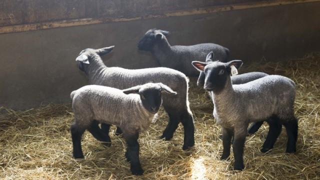 わずか1%未満の国産羊の産地化に向けた取り組み