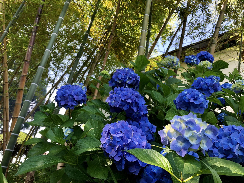 紫陽花と竹と蔵。景色が良いですね。